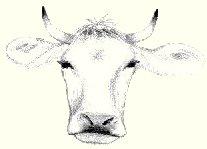 Allgäuer Rind, gezeichnet
